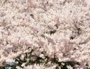 Cherry Blossoms, photograph