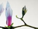 Magnolia Solitaire